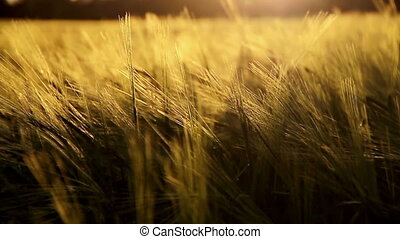 golden crops blowing in the wind
