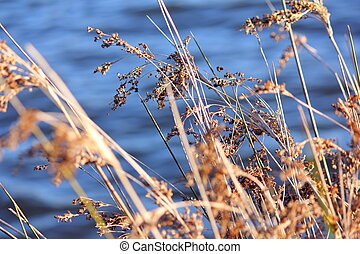 Reeds by the lake - Close up photo of a beautiful reed and...
