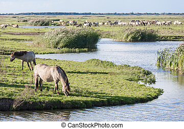 Horses in Dutch national park Oostvaardersplassen