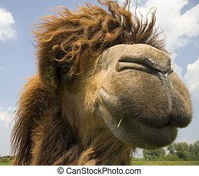 Camel head - A close up of a camel head