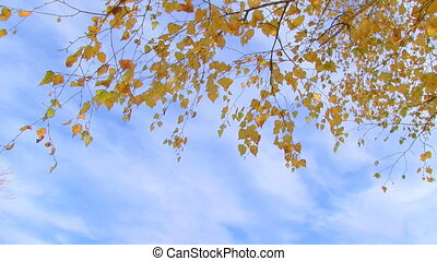 birch branch with yellow leaves