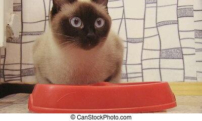 siamese cat - eating siamese cat
