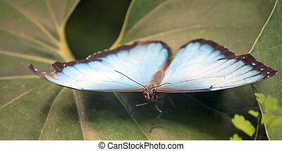 Blue butterfly flying around leaves backgroun