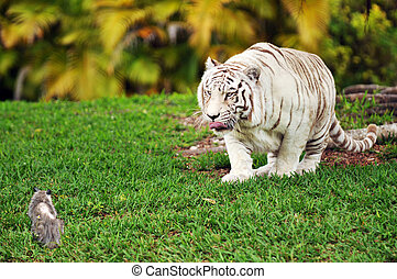 Stalking Tiger - A white tiger stalking a tiny possum.
