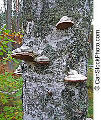mushroom heap on the birchtree, environment details