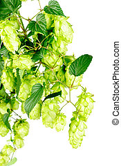 hop close-up isolated on white background - hop close-up...