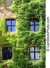 Part of a castle with windows and growth of ivy