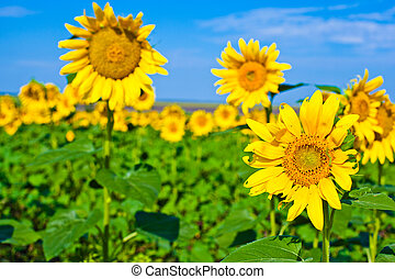 Beautiful sunflowers in the field with bright blue sky