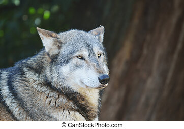 Timber Wolf Head and Shoulders