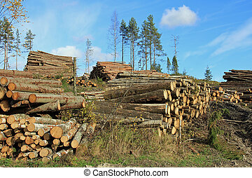 Logging in Autumn Forest - Piles of logs at forest clearcut...