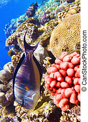 Coral and fish in the Red Sea.Fish-surgeon. - Coral and fish...