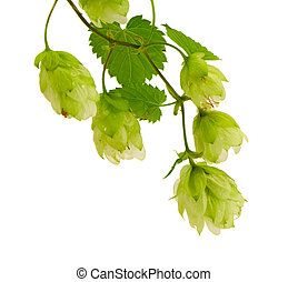Hop plant for beer production isolated on white - Hop plant...