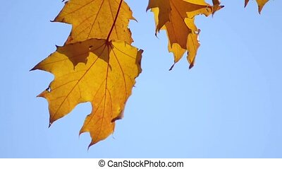 maple leaves in autumnal colors