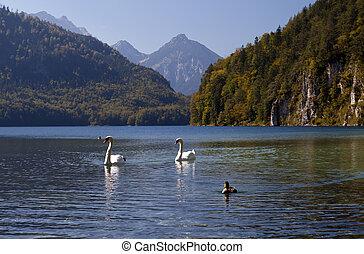 wild white swans on Alpensee - couple of wild white swans on...