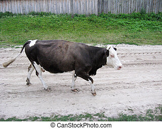 the cow going in the village