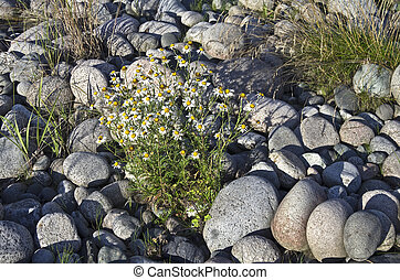 Flowers growing on the rocks.