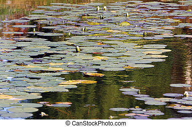 Lily Pads - Water lilies at the end of Summer