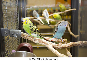 Budgies sitting on a branch in cage