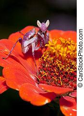 Mantis - Small Praying Mantis on back lotus leaf