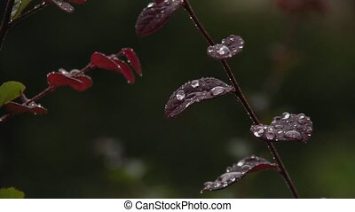beaded rain - Beaded raindrops cover the leaves of a...