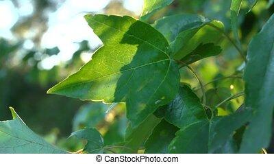 backlit leaf - A late afternoon shot of a tree leaf backlit...