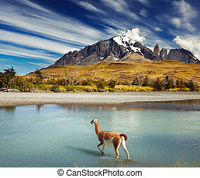 Torres del Paine National Park, Chile - Guanaco crossing the...