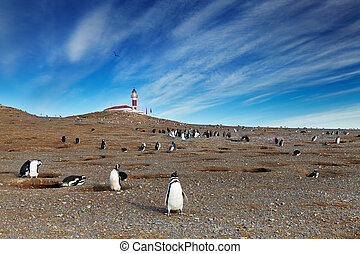 Magellanic penguins on Magdalena island, Chile - Colony of...
