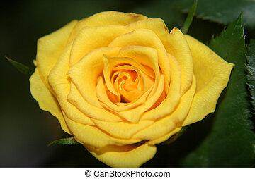 Miniature Yellow Rose - Miniature yellow rose blossom