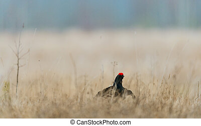 Lekking Black Grouse Lyrurus tetrix Early morning Forest...