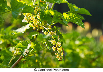 Spring currant bush - Early spring currant bush outdoors