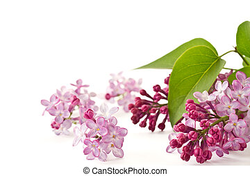 lilac flowers - beautiful flowers blooming lilac on a white...