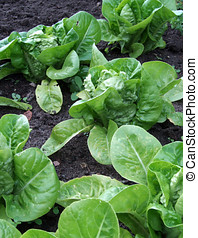 Lettuces in soil