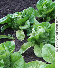 Row of Lettuces