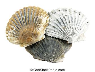 Scallop Shells - Three scallop sea shells