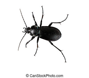 Ground beetle -solated over white backgroun - Carabus...