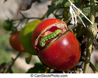 Green cabbage looper caterpillar in red tomato plant, garden...