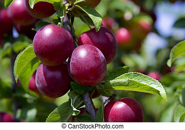 Plums on the tree - Red ripe plums on the tree