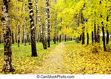 Colorful autumn birch grove in october rainy weather -...