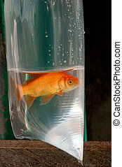 goldfish in a plastic package for sale