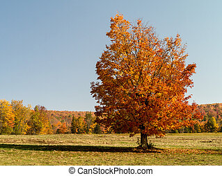 Fall foliage - Autumn colors on a flaming orange sugar maple...