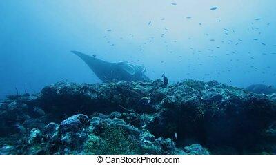 Manta Rays Swimming in Ocean Blue - Mantas Manta birostris...