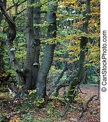 Beech forest at autumn closeup