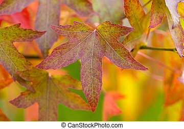 autumnal leaves and foliage - autumn or fall leaves and...