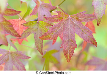 autumnal liquidambar leaves - autumn or fall leaves and...