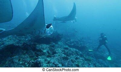 Manta Rays Swimming in Ocean Blue - Mantas (Manta birostris)...