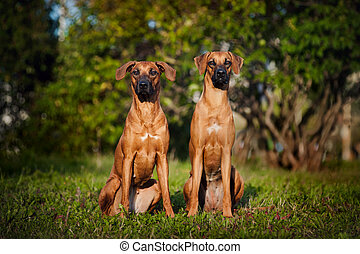 Two Dogs Ridgeback sitting on the grass