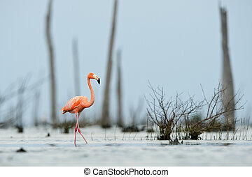 The pink Caribbean flamingo goes on water. - The pink...