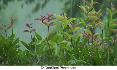 Hard rain on shrub leaves - It's raining pretty hard on the...