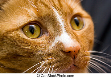 Orange Cat eye - An orange cat looking to the right,...