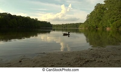 Lake tracking shot - Tracking shot of ducks swimming by on a...
